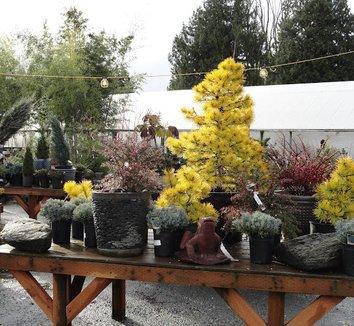 Pinus contorta var. latifolia 'Chief Joseph' 16 form