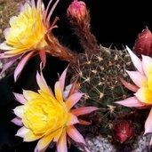 Echinopsis 'Easter Bonnet'