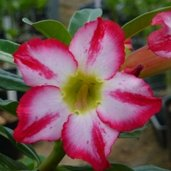 Adenium 'Big Harry'