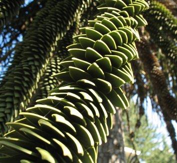 Araucaria araucana 3 form