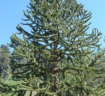 Araucaria araucana 1 form