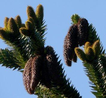 Araucaria araucana 7 pine cone