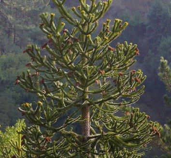 Araucaria araucana 9 form