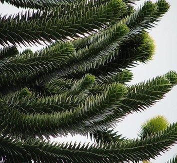 Araucaria araucana 16 form