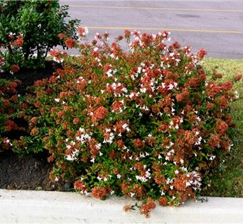 Abelia x grandiflora 'Sherwoodii' 1 flower