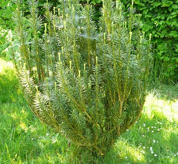 Cephalotaxus harringtonia 'Fastigiata' 1 form