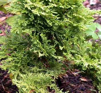 Chamaecyparis obtusa 'Pygmaea Aurescens' 4