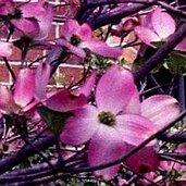 Cornus 'Steller Pink'