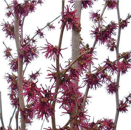 Hamamelis Vernalis 39 Amethyst 39 Hamamelis Intermedia 39 Amethyst Purple 39 Hamamelis X Intermedia