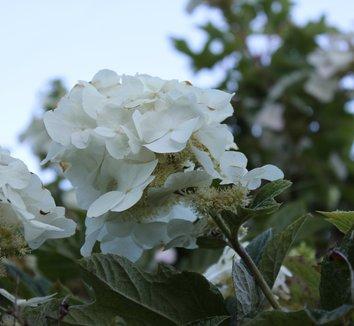 Hydrangea quercifolia 'Munchkin' 1 flower