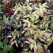 Leucothoe fontanesiana 'Girard's Rainbow'