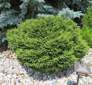 Picea orientalis 'Bergman's Gem' 1 form