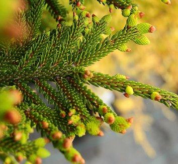 Picea orientalis 'Bergman's Gem' 10