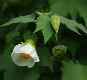 Abutilon 'White' 1 flower