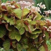 Begonia 'Art Hodes'