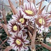 Stenocactus crispatus var. xiphacanthus