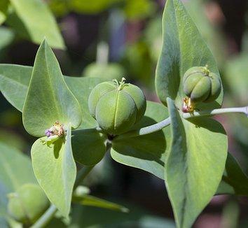 Euphorbia lathyris 1