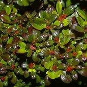 Azalea 'Cherry Drops'