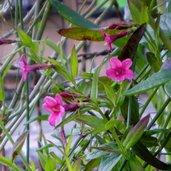 Jasminum beesianum 'Pink'