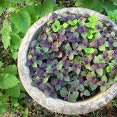 Perilla frutescens