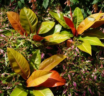 Philodendron 'Prince of Orange' 06797| plant lust