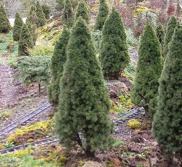 Picea glauca 'Jean's Dilly' 7 form
