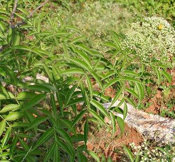 Sambucus canadensis 1 flower