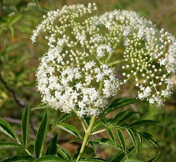Sambucus canadensis 5 flower