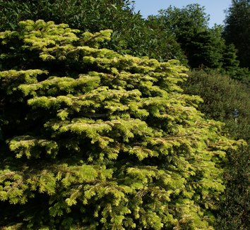 Abies nordmanniana 'Golden Spreader' 5