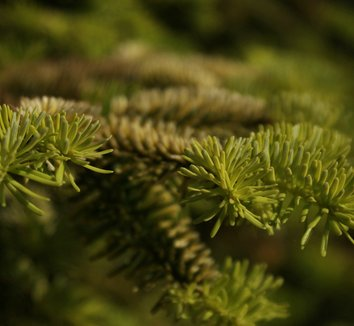 Abies nordmanniana 'Golden Spreader' 3
