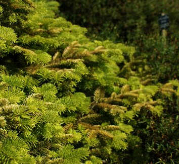 Abies nordmanniana 'Golden Spreader' 2