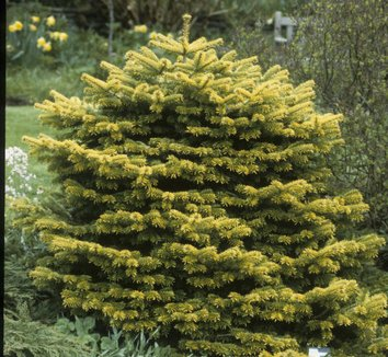 Abies nordmanniana 'Golden Spreader' 8 form