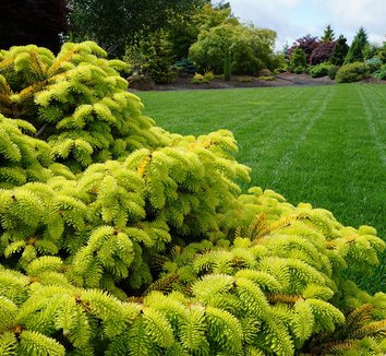 Abies nordmanniana 'Golden Spreader' 11