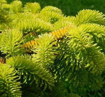 Abies nordmanniana 'Golden Spreader' 9