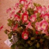 Torenia fournieri 'Trailing Pink'
