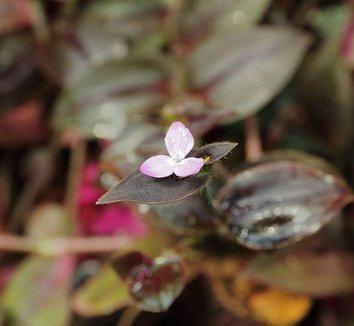 Zebrina pendula 'Purpusii' 1 flower