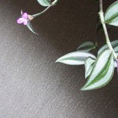 Tradescantia pendula var. quadrifolia