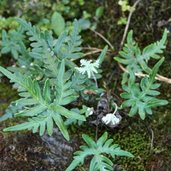 Cheilanthes argentea