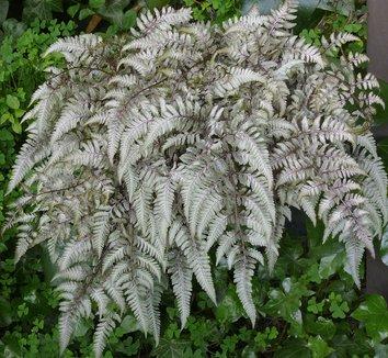 Anisocampium niponicum var. pictum 2