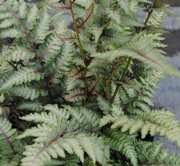 Anisocampium niponicum var. pictum 5
