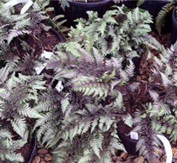Anisocampium niponicum var. pictum 11