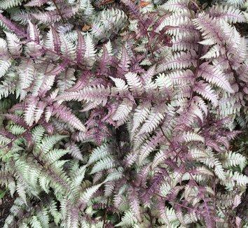 Anisocampium niponicum var. pictum 12