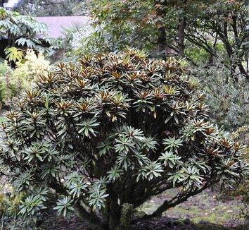 Rhododendron globigerum 6 form