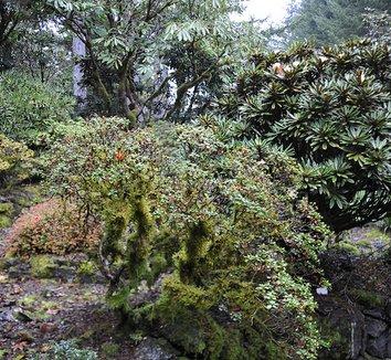 Rhododendron globigerum 9