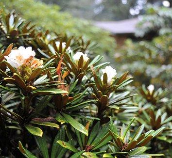 Rhododendron globigerum 8 flower