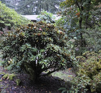 Rhododendron globigerum 2 form