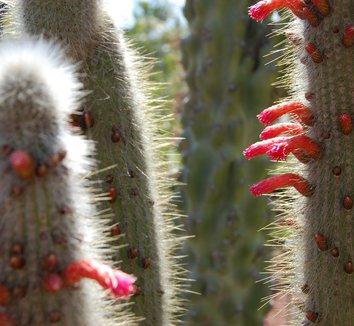 Cleistocactus hyalacanthus 9 flower