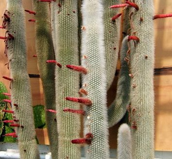Cleistocactus hyalacanthus 2 flower