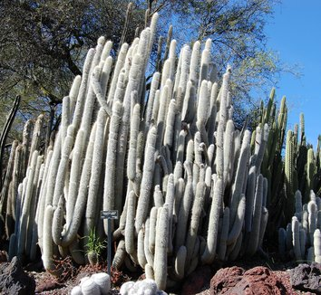 Cleistocactus hyalacanthus 1 form