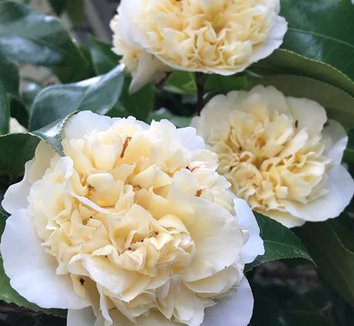 Camellia japonica 'Brushfield's Yellow' 1 flower